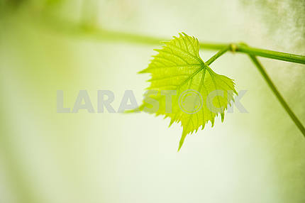 Vine leaves and young grapes, close-up