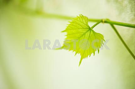 Листья винограда и молодой виноград, крупным планом