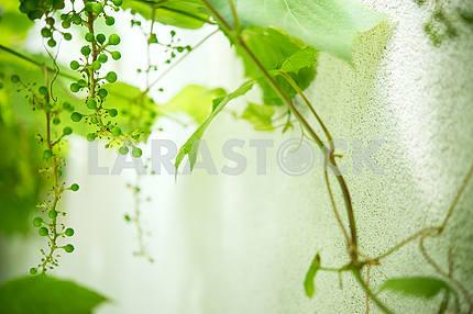 Immature green grapes