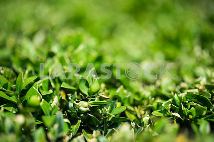 Just clipped boxwood bush, a little blurred