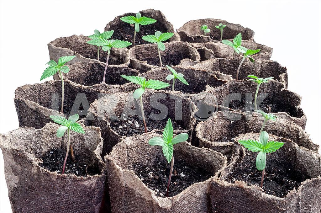 Cannabis — Image 48997
