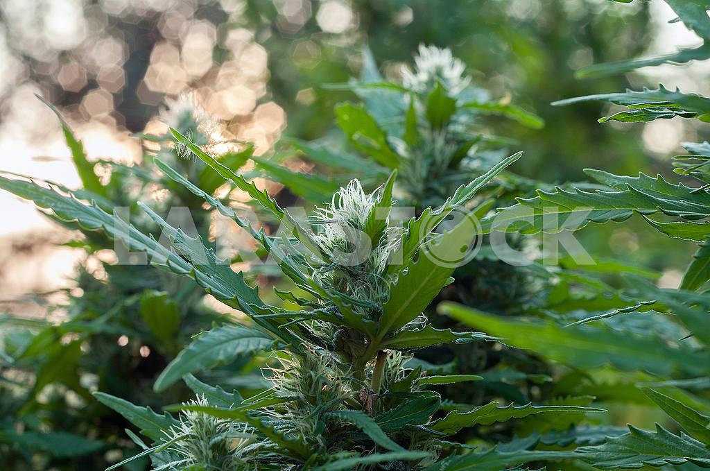 Cannabis — Image 49006
