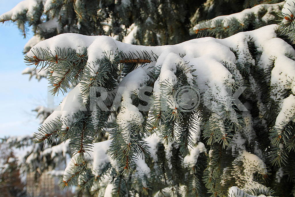 Fir tree under the snow — Image 49118