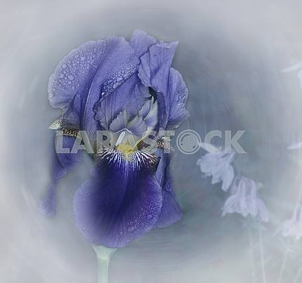 A flower of blue iris with raindrops. Artistic processing.