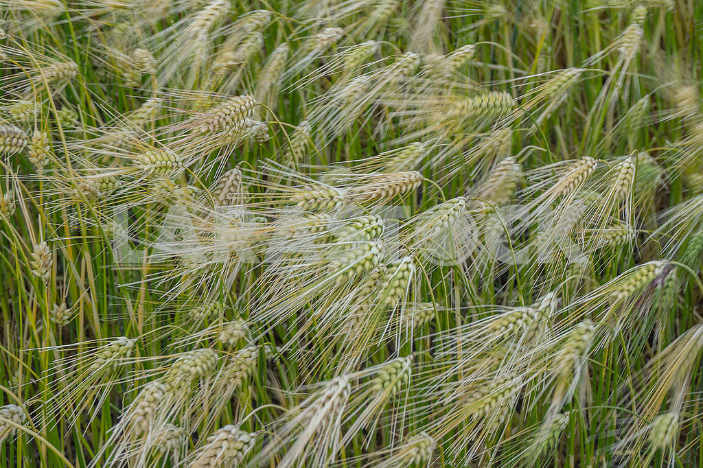 Wheat spikelets — Image 49449