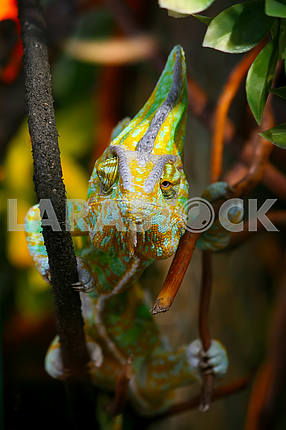 Funny chameleon on a branch.