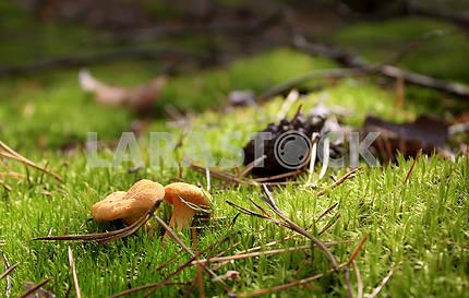 An eatable mushroom cepe over the green foliage background.