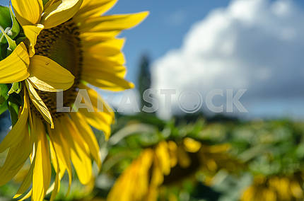 blooming sunflowers in a wheat field