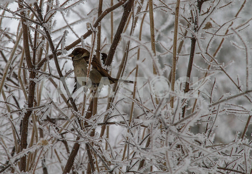 Sparrow on the branch — Image 49725