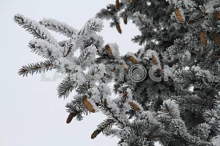 Хвойное дерево в Мариуполе