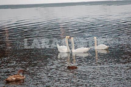 Лебеді на річці Уж