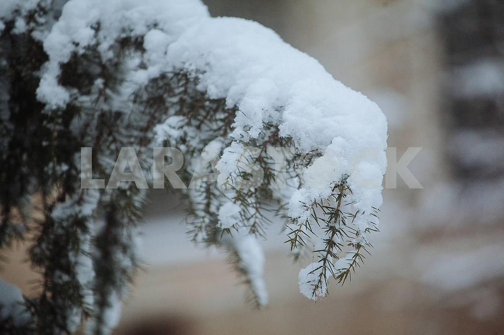 Хвоя під снігом — Image 49766