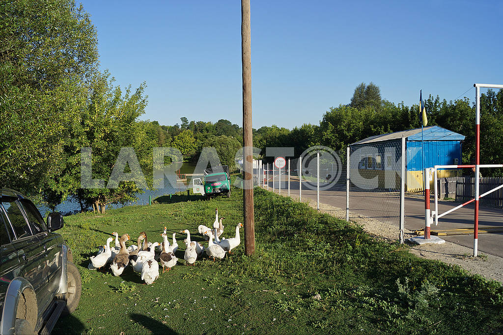 """A flock of geese near the checkpoint """"Grabovskoye"""" — Image 50086"""