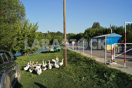 """A flock of geese near the checkpoint """"Grabovskoye"""""""