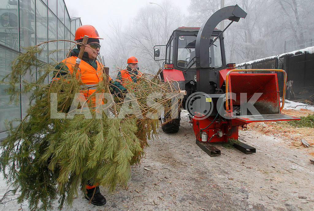 Recycling of Christmas trees — Image 50363