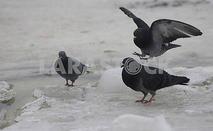 Dove on ice