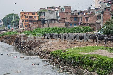 На берегу мертвой реки Багмати трудовые быки.