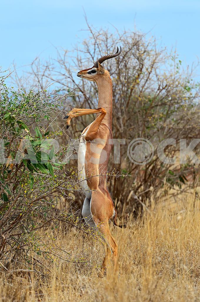 Giraffidae antelope gerenuk — Image 50950