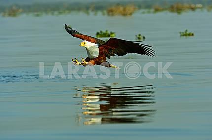 Рыбный орел