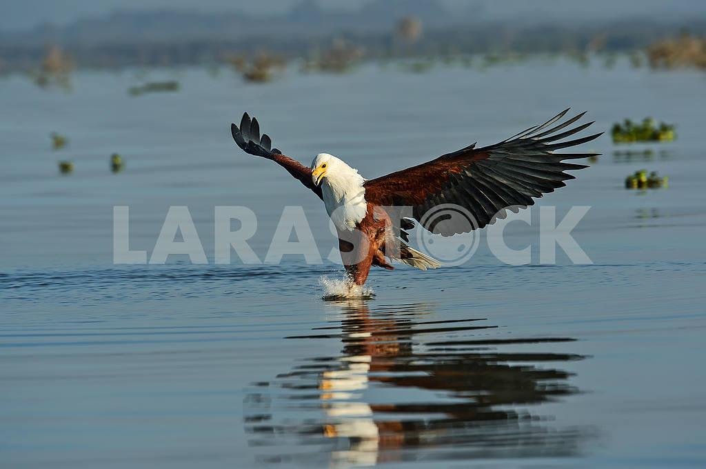 Рыбный орел — Изображение 50958