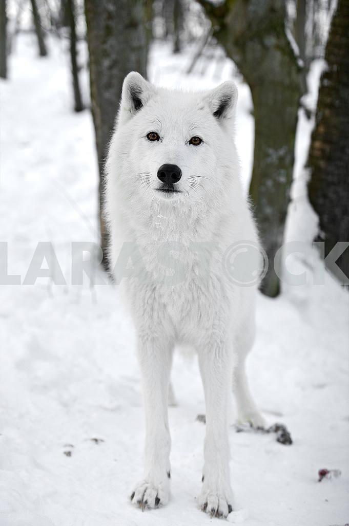 Polar wolf — Image 50961