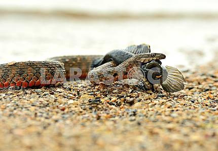 Водяная змея