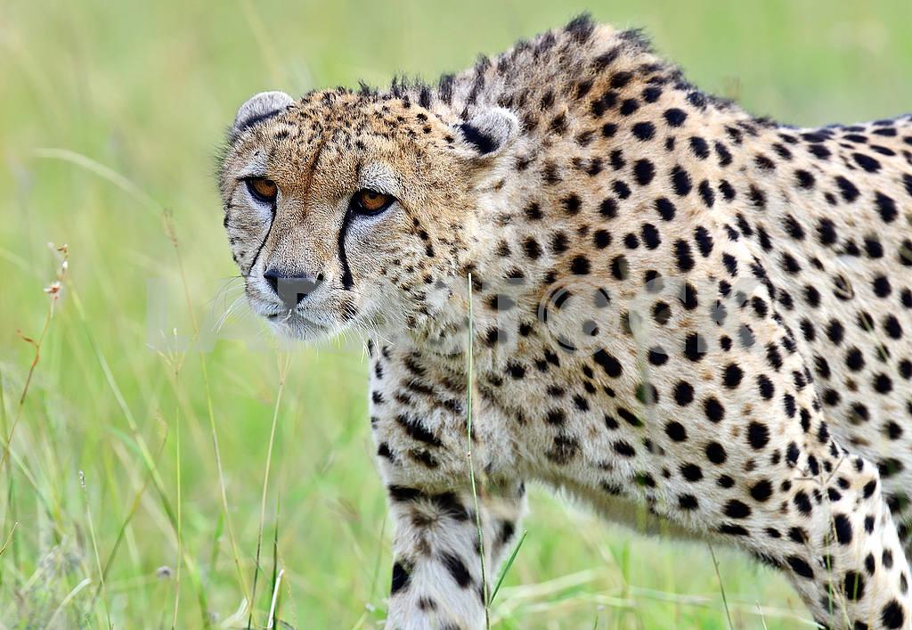 Masai Mara Cheetahs — Image 50986