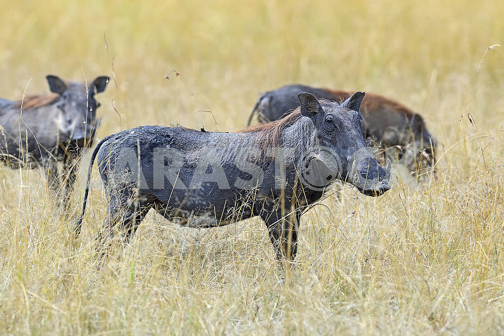 Warthog in tropical Kenya — Image 50995
