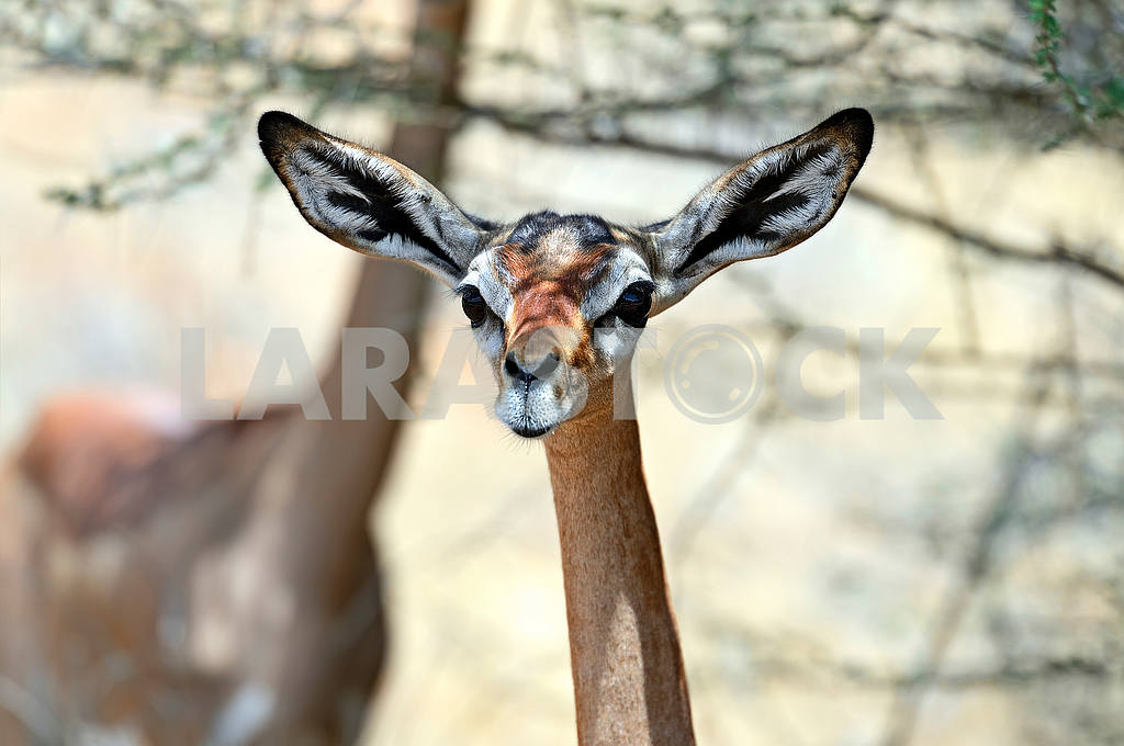 Gerenuk in the savannah — Image 51001