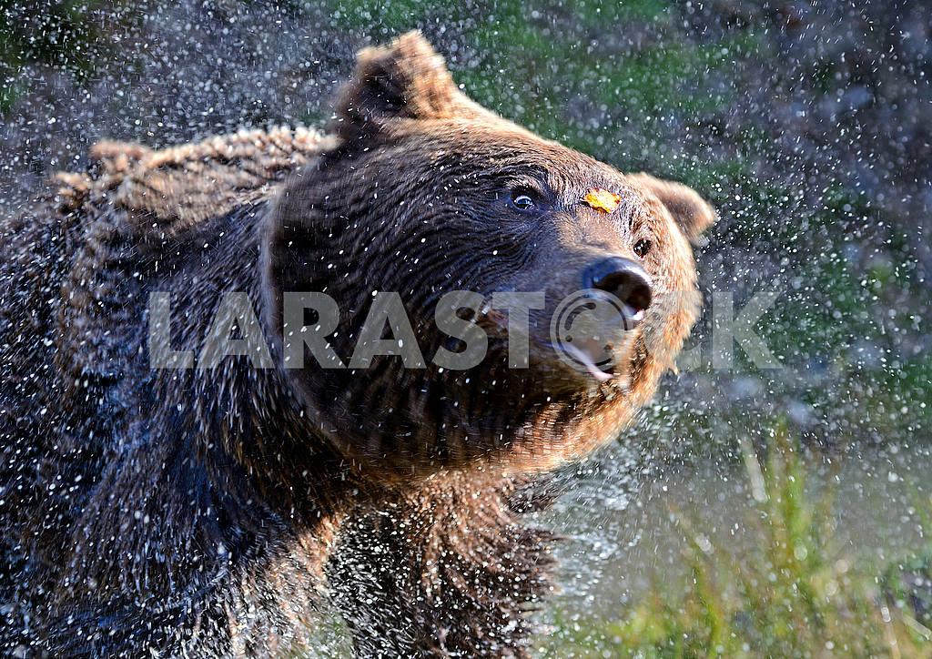 Brown bears in their natural habitat — Image 51008