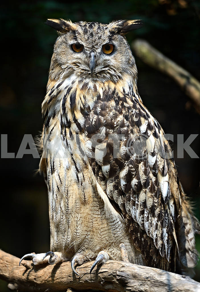 Owl on a dark background — Image 51010