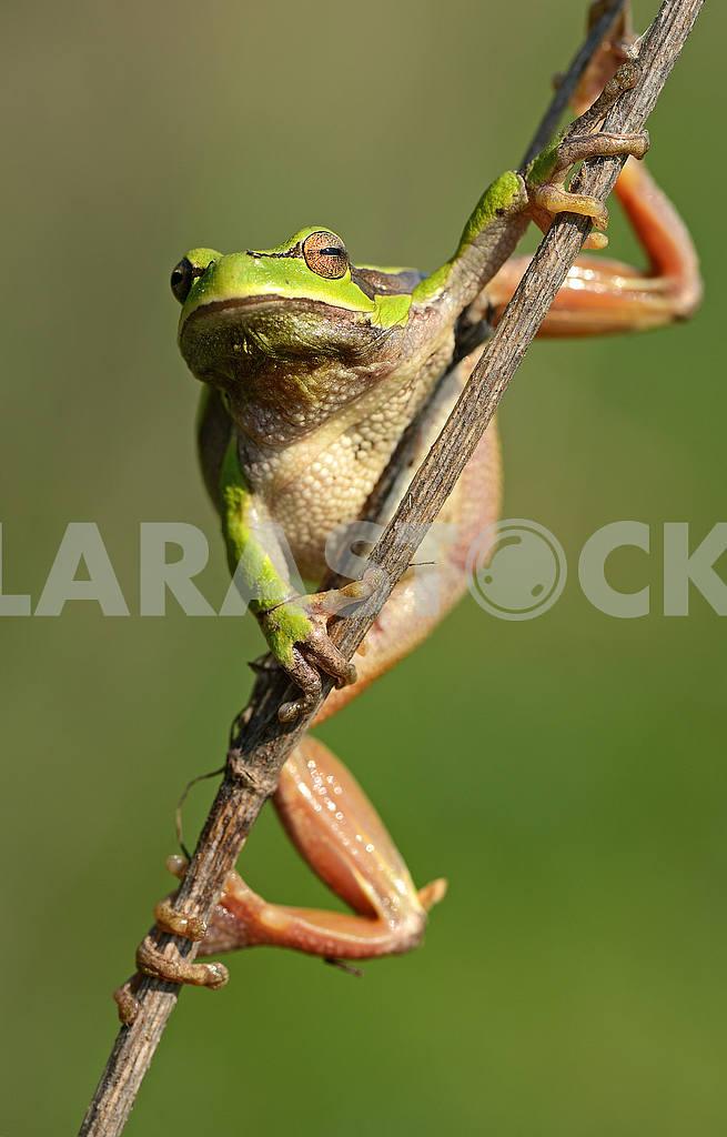Frog — Image 51033