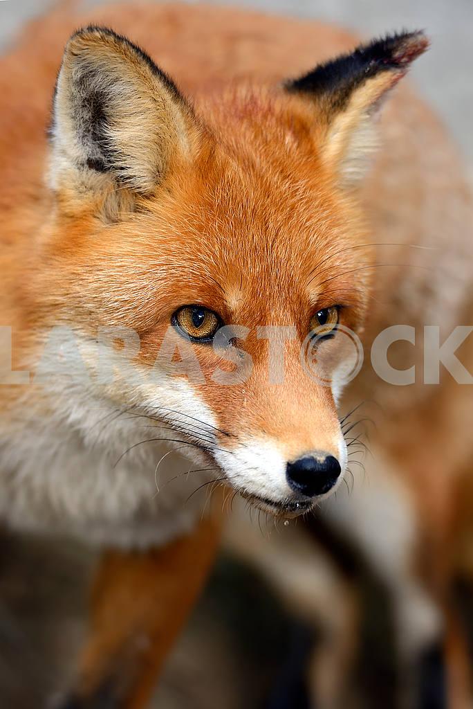 Fox portrait in natural habitat — Image 51042