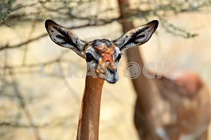 Gerenuks gazelle