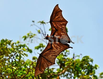 Летающий лис