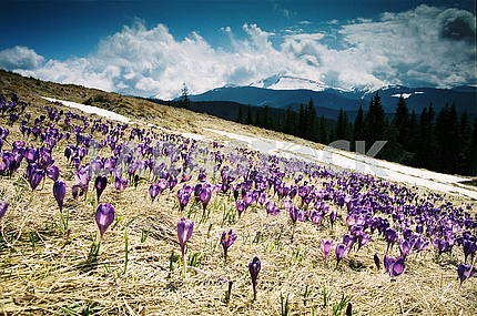 Crocus flowers in the mountains
