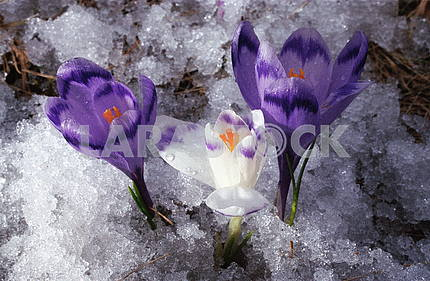 Crocus flowers on snow