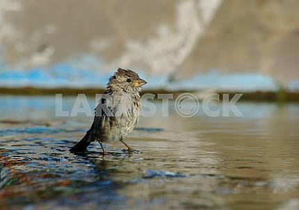 A small sparrow (with a yellow mouth) with ruffled feathers stands with paws in running water.
