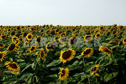 Sunflower field, blue sky