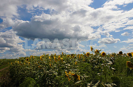 Sunflower field, blue sky, space for text