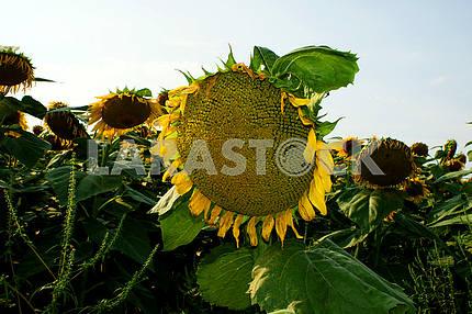 Sunflower, close-up bee on sunflower