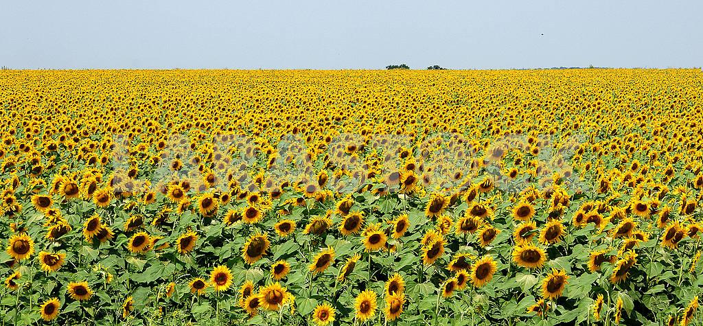 Sunflower field, summer,