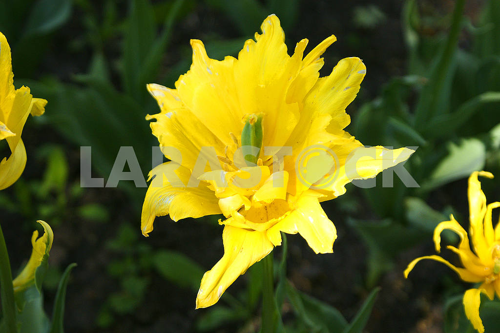 Yellow tulip on the flowerbed — Image 51705