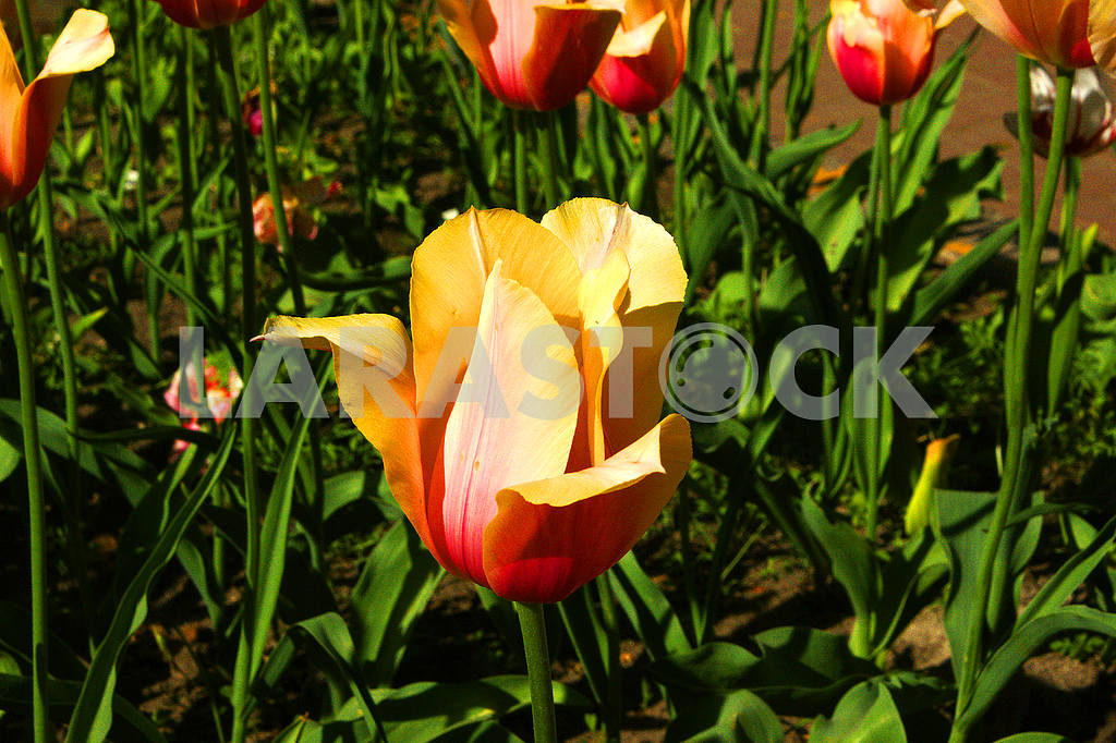 Tulip on the flowerbed — Image 51727