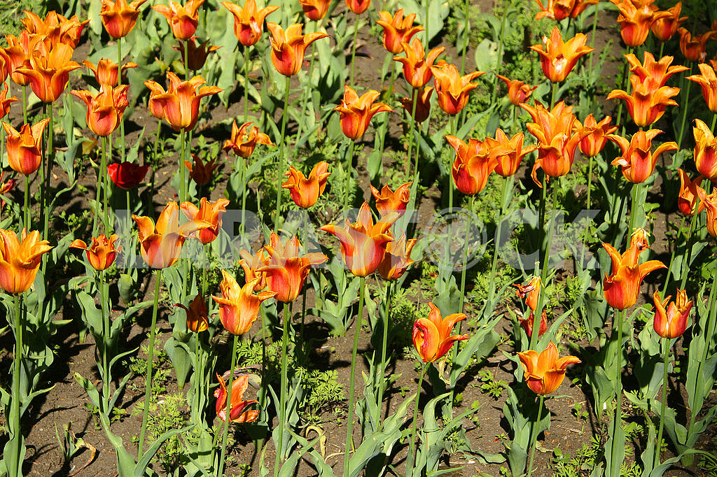 Tulips yellow - red in the flowerbed planted row — Image 51729