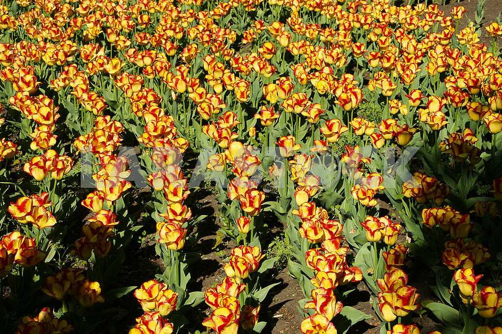 Rows of tulips, yellow - red, in the flowerbed — Image 51731