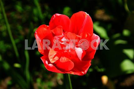 Тюльпан красный, на клумбе
