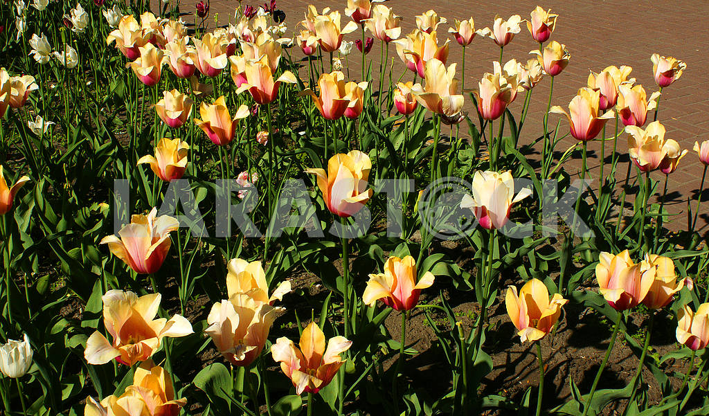 A flower bed of yellow tulips — Image 51782
