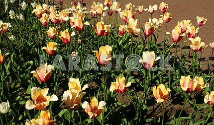 A flower bed of yellow tulips