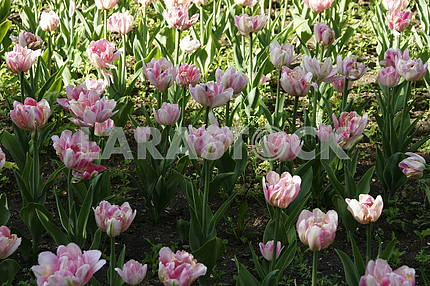 Tulips on the flowerbed